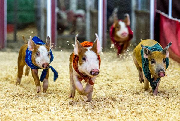 美國加州波莫納,著名的洛杉磯縣農業展開幕。圖為展場中舉辦的小豬賽跑。攝影於2013年9月4日。(JOE KLAMAR/AFP)