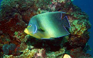 叠波盖刺鱼(俗称蓝纹神仙鱼)的自然产卵及初期生活史之研究为全世界之首例。(海洋生物博物馆提供)