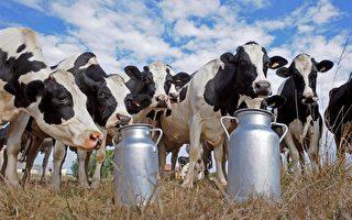 国产奶粉仍难获信任 中国人瞄准法国牛奶