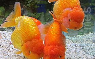 卑詩警告:將金魚放入野生水域 後果嚴重