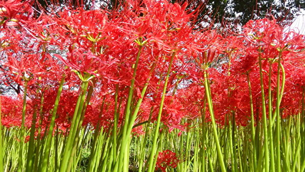 曼珠沙華,花開時不見葉,見葉不見花,象徵陰陽兩隔的「彼岸花」。(和和/大紀元)