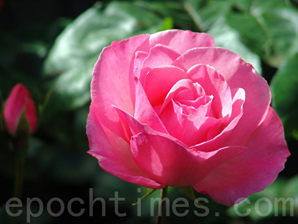 玫瑰花 (Cheng Ming / 大纪元)