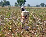 非洲喀麦隆陋习,为隐藏女儿青春期,母亲们熨烫女儿的胸部。图为在棉田工作的喀麦隆少女。(ISSOUF SANOGO / AFP)