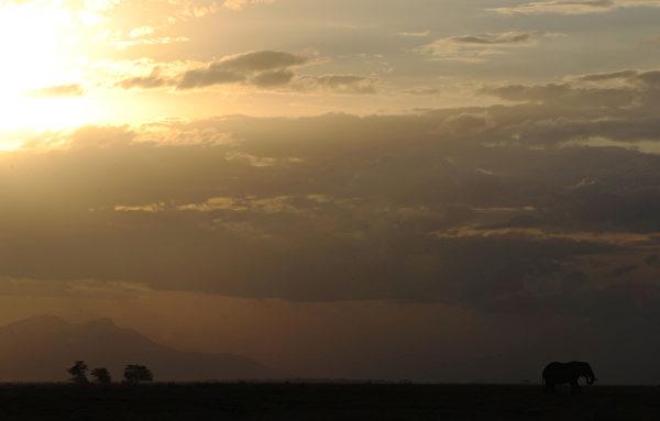 2013年10月7日,日落時分,肯尼亞安博塞利國家公園的大象在草原上吃草。(TONY KARUMBA/AFP)