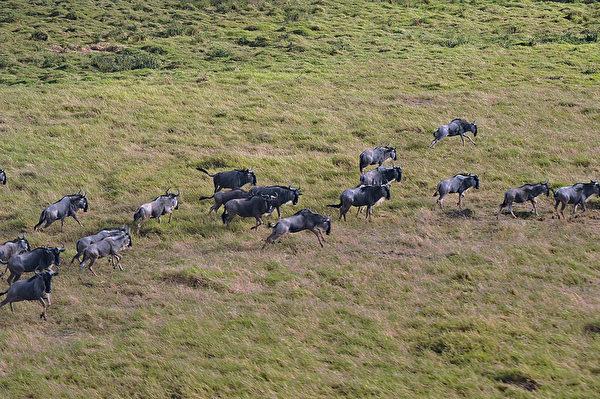 2013年10月8日,肯尼亞安博塞利國家公園的黑尾牛羚。(TONY KARUMBA/AFP)