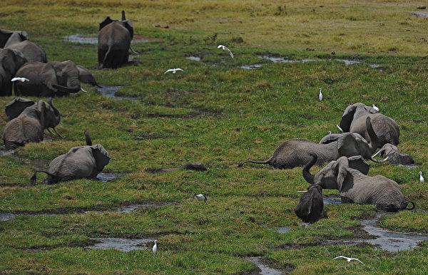 2013年10月7日,肯尼亞安博塞利國家公園的大象在沼澤區吃草。(TONY KARUMBA/AFP)