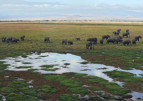 2013年10月8日,肯尼亞安博塞利國家公園沼澤區旁的大象。(TONY KARUMBA/AFP)