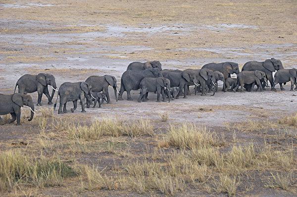 2013年10月8日,肯尼亞安博塞利國家公園大象。(TONY KARUMBA/AFP)
