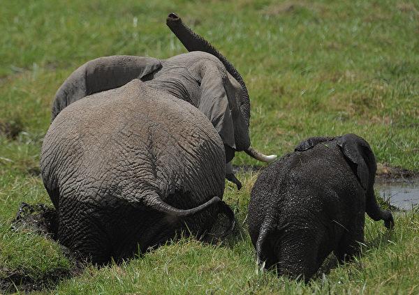 2013年10月8日,肯尼亞安博塞利國家公園沼澤區的大象。(TONY KARUMBA/AFP)