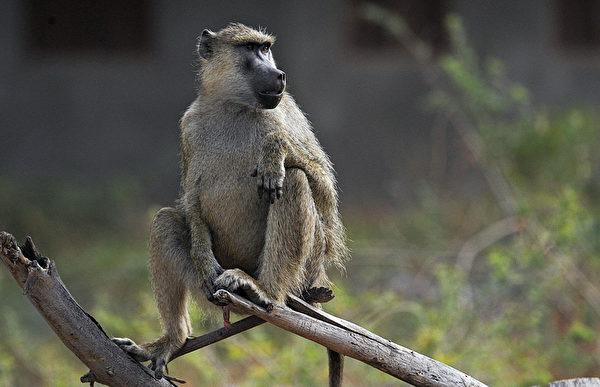 2013年10月7日,肯尼亞安博塞利國家公園一隻年輕狒狒。(TONY KARUMBA/AFP)