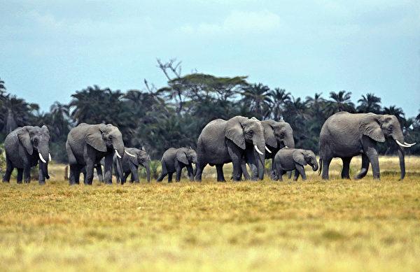 2013年10月8日,肯尼亞安博塞利國家公園的大象和小牛穿越草原。(TONY KARUMBA/AFP)