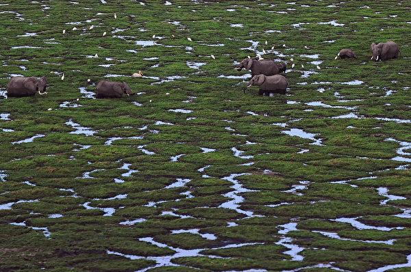 2013年10月8日,肯尼亞安博塞利國家公園的大象在沼澤區吃草。(TONY KARUMBA/AFP)