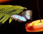 组图:温室蝴蝶展 纽约登场