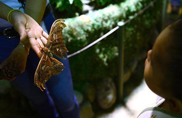 2013年10月10日,美国自然历史博物馆的温室蝴蝶展预展。图为一位女学生观赏安阿特拉斯蛾。(EMMANUEL DUNAND/AFP)