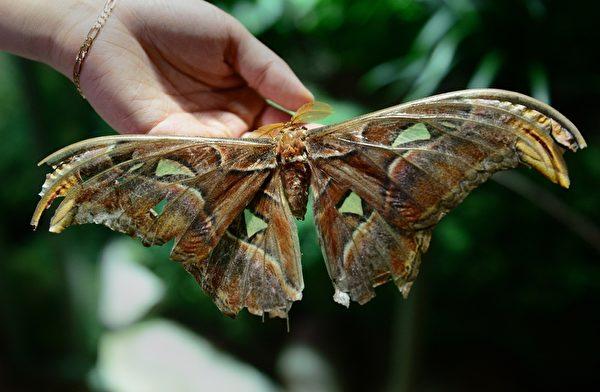 2013年10月10日,美国自然历史博物馆的温室蝴蝶展预展。图为安阿特拉斯蛾是世界上最大的蛾。(EMMANUEL DUNAND/AFP)