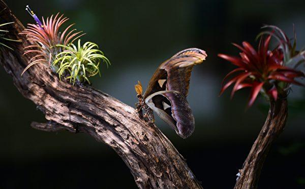2013年10月10日,美国自然历史博物馆的温室蝴蝶展预展。图为一只安阿特拉斯蛾停在树干上。(EMMANUEL DUNAND/AFP)
