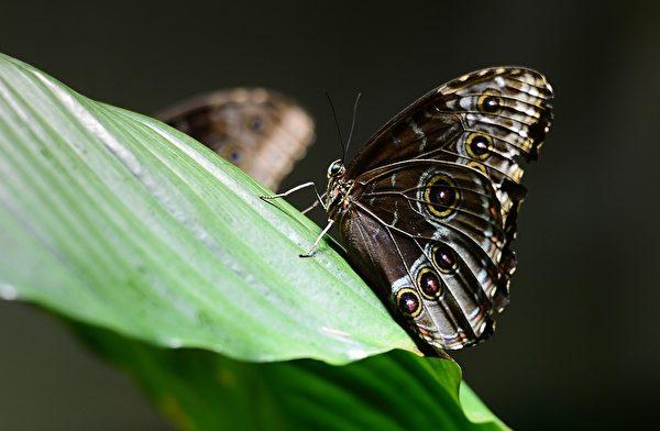 2013年10月10日,美国自然历史博物馆的温室蝴蝶展预展。图为一只蝴蝶停在树叶上。(EMMANUEL DUNAND/AFP)