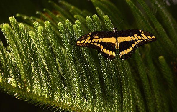 2013年10月10日,美国自然历史博物馆的温室蝴蝶展预展。图为一只蝴蝶停在树枝上。(EMMANUEL DUNAND/AFP)