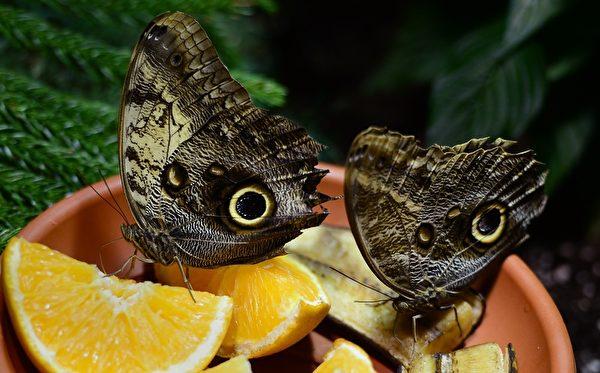 2013年10月10日,美国自然历史博物馆温室蝴蝶展预展。图为两只猫头鹰蝴蝶吸橙汁。(EMMANUEL DUNAND/AFP)