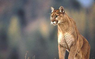 D.C.杜邦堡公园惊现美洲狮