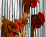 台湾出现全球第一例人类感染H6N1禽流感个案,台湾疾管局表示,H6N1是普遍存在家禽间的低病原性禽流感病毒,全球未曾发现人类感染病例。(Guang Niu/Getty Images)