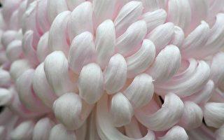 组图: 秋天赏菊