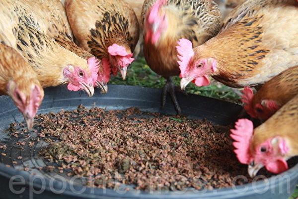 益可福国宝鸡 人道管理无药饲养/有机自然无毒台湾土鸡