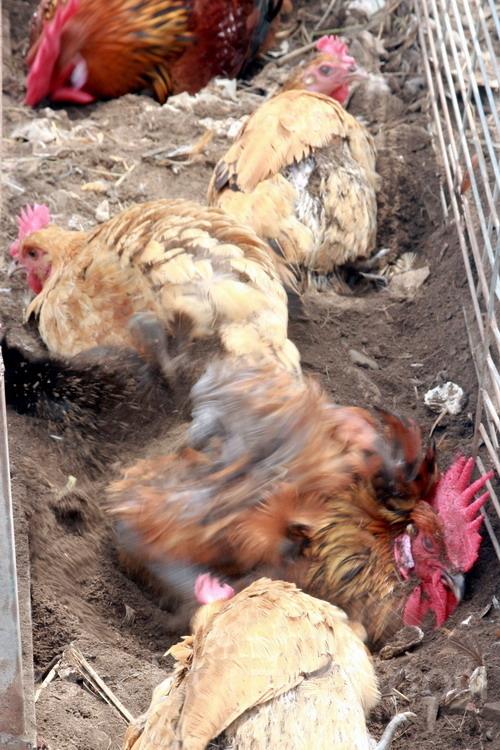 在鸡舍角落,鸡群正兴高采烈趴土、争先做沙浴。(摄影:赖友容/大纪元)