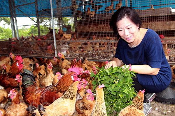 在人道管理的鸡舍中,柯太太喂食长在鸡舍旁的杂草。(摄影:赖友容/大纪元)
