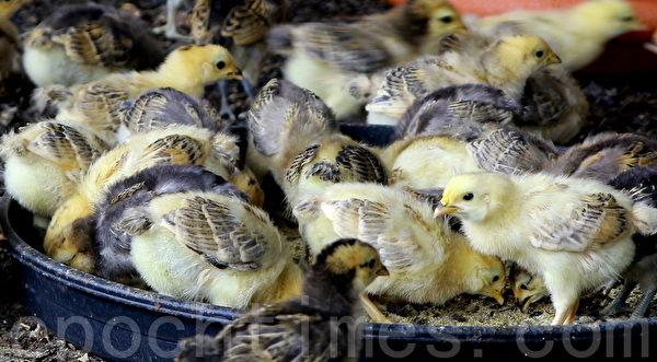 国宝鸡宝宝争食茶叶益生菌饲料,长大可成为无药土鸡。(赖友容/大纪元)
