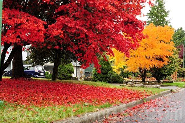 加拿大本那比的秋季楓葉(景浩/大紀元)