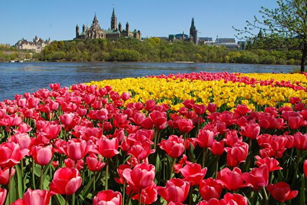 加拿大五月的鬱金香節,滿城花香縈繞。(任喬生/大紀元)