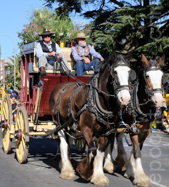 澳洲古典馬車展示街頭很氣派(林珊如/大紀元)