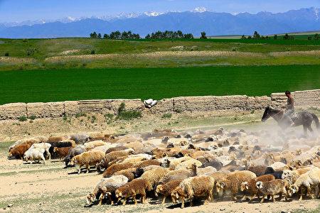 蒙古草原的羊群(Gwanhae Seong/大纪元)