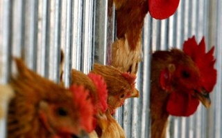 據媒體報導,12月6日,香港出現了一起致命H7N9禽流感新病例,這是5天內第2起曝光病例。(Guang Niu/Getty Images)
