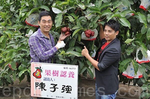 結在蓮霧果樹上的水蜜黑金剛,個個又紅又大,每顆的甜度更高達十五度。(羅瑞勳/大紀元)