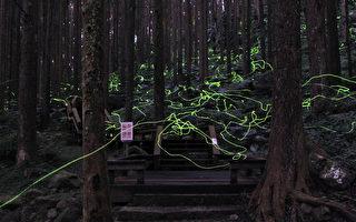 阿里山国家风景区管理处17日表示,阿里山区有8种秋冬型萤火虫,奋起湖杉林栈道等地现在可见。图为冬萤所拖曳的光轨。(阿里山国家风景区管理处提供)