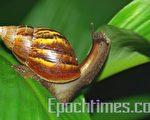 非洲大蜗牛是蜗牛一族中的巨无霸(摄影:王嘉益/大纪元)