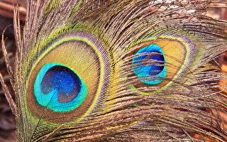 组图:孔雀的羽毛漂亮 微观下更美