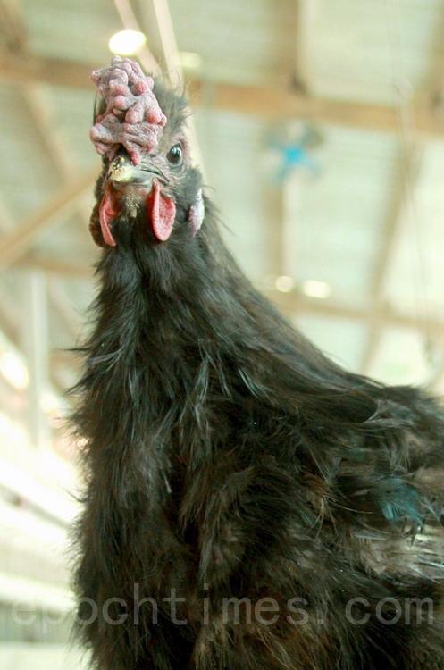 气宇轩昂的黑雕鸡(公)拥有乌骨鸡的十全特征。(摄影:赖友容/大纪元)
