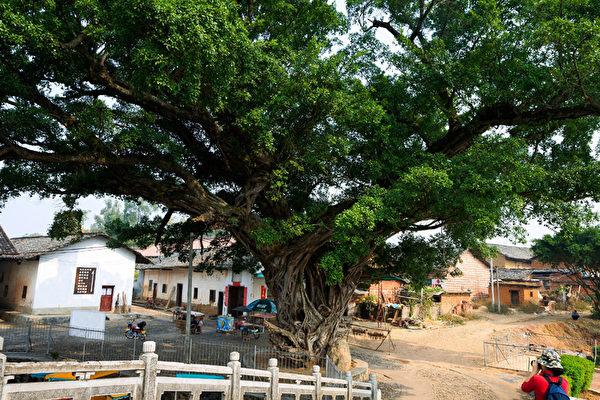 珠璣巷千年古榕樹,相傳與珠璣巷同齡。(大紀元圖片庫)
