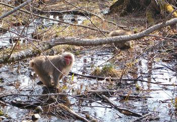 日本弥猴(摄影:张羽良/大纪元)