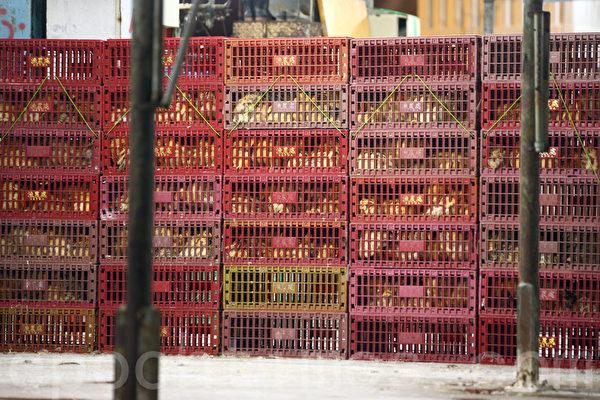 鸡农用载着活鸡的货车到礼宾府抗议。(潘在殊/大纪元)