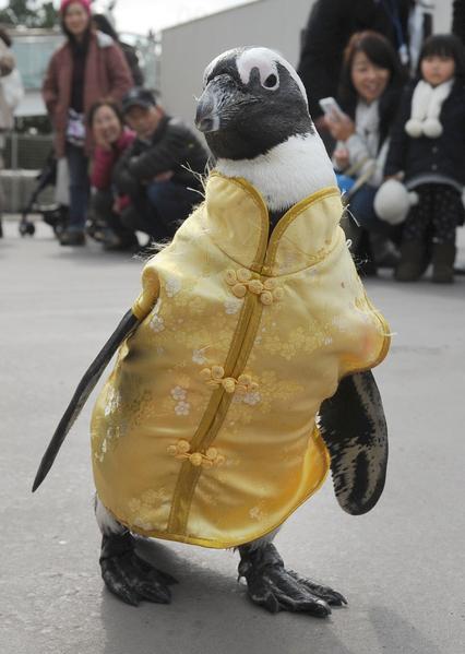 2014年1月26日,日本横滨,海洋公园内小企鹅穿上应景的衣服。(Toru YAMANAKA/AFP)
