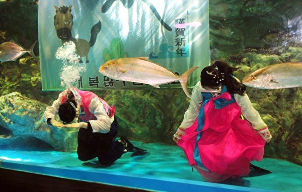 2014年1月26日,南韩首尔,COEX水族馆人员穿着韩服,在鱼群中向游客拜年。(JUNG YEON-JE/AFP)