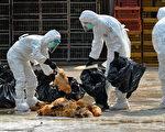 港府28日一早派员到长沙湾临时家禽批发市场,销毁场内约2万只活鸡,关闭期间彻底消毒清洗。香港同时暂停自中国大陆进口活鸡,香港本地农场也禁止售出活鸡。(宋祥龙/大纪元)