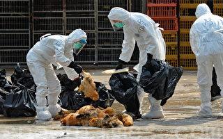 组图:大陆禽流扩散香港 半日杀2万活鸡