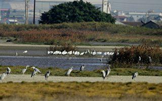 高雄茄萣1-4号道路贯穿茄萣湿地,保育团体忧心将重创黑面琵鹭栖息地。(高雄市野鸟学会提供)