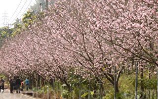 过年后,鱼池乡鹿篙社区香茶巷的上百棵粉红吉野樱夹道迎人。(黄淑贞/大纪元)