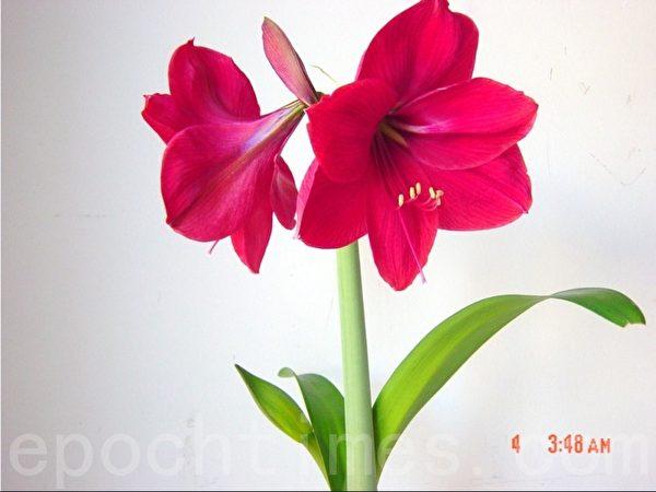 上棵并蒂莲的后代,第二次开花,去年开了一朵,这是2月4日拍的照。(尚天/大纪元)
